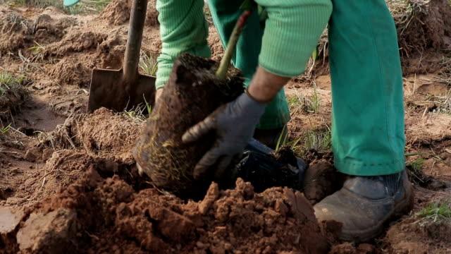 plantando árvore de laranja em um campo de agricultura de laranja - árvore stock videos and b-roll footage