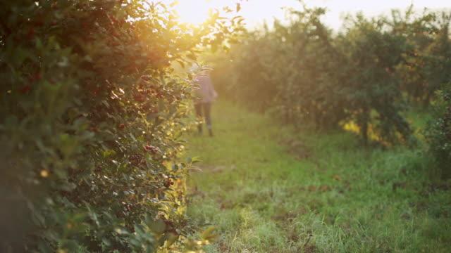 vidéos et rushes de plantation de cerise au début de la vidéo de stock de matin d'été - soulever