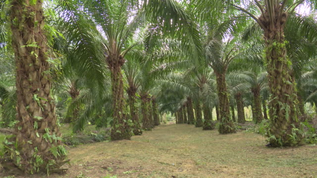 plantation of palms in government research center kluang johor malaysia on tuesday 18 october 2018 - ヤシ点の映像素材/bロール