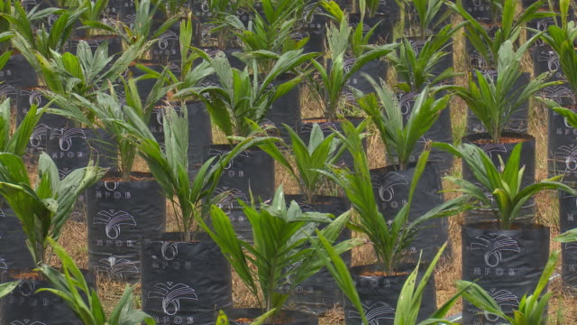 plantation of palms in government research center, kluang, johor, malaysia, on tuesday, 18 october, 2018 - ricerca genetica video stock e b–roll