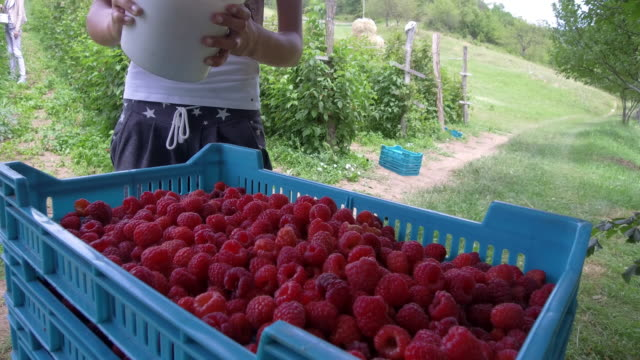 plantation of raspberry - picking harvesting stock videos & royalty-free footage