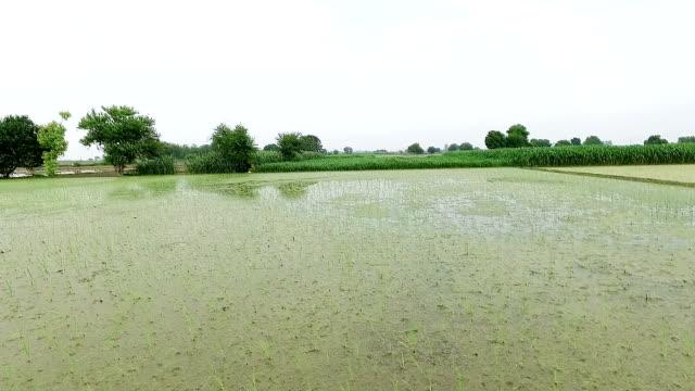 plantering av ris gröda - durra bildbanksvideor och videomaterial från bakom kulisserna