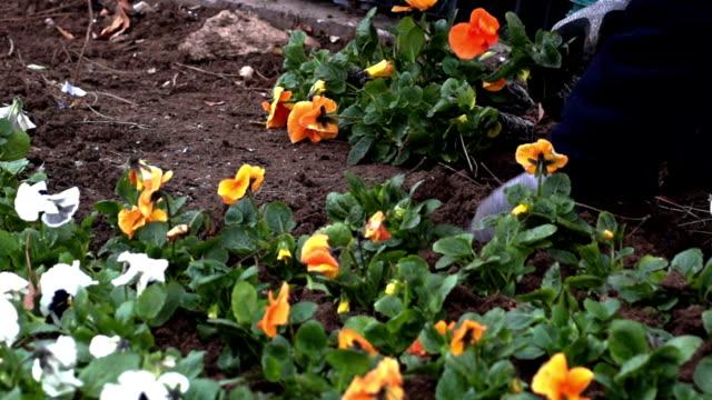 vidéos et rushes de hd: planter une fleur, jardiner - gant de jardinage