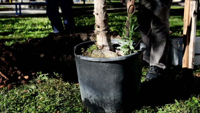 vidéos et rushes de série: planter un arbre - de grande taille