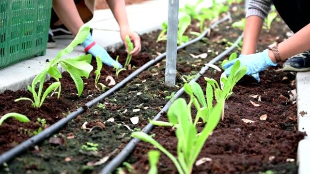 vídeos y material grabado en eventos de stock de planting agriculteral in organic farm in thailand - huerto
