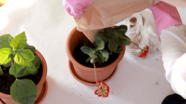 Planting flowers in a pot