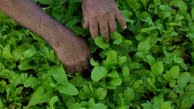 Planting of arugula