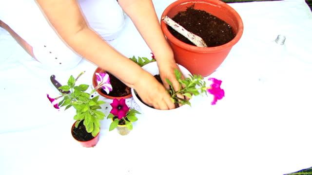 vidéos et rushes de planter rose pétunia - touche de couleur