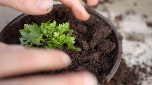 planting small celery plant - plant pot stock videos & royalty-free footage
