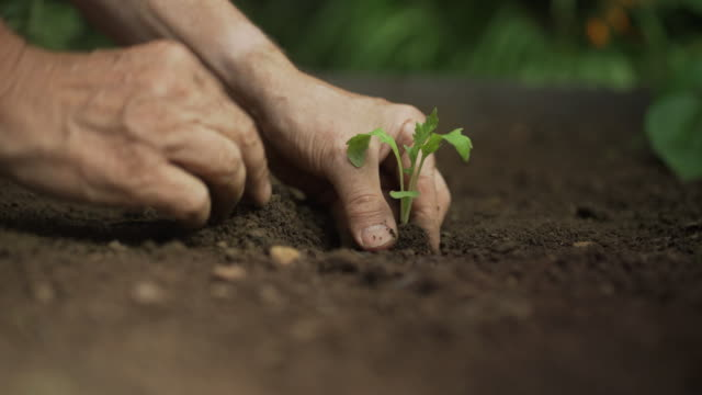 Planting vegetable seedling