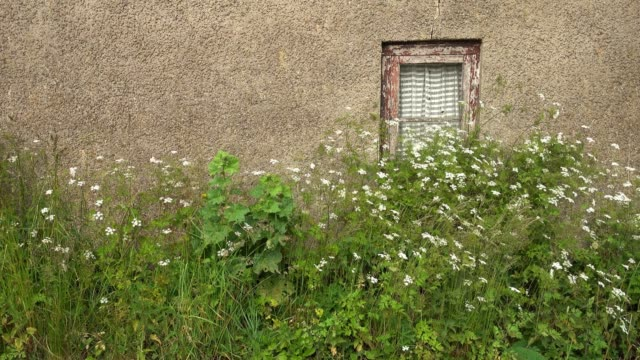 plants and white flowers moving in the wind at a house wall with a window - fensterrahmen stock-videos und b-roll-filmmaterial