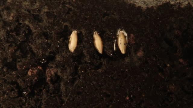 vídeos de stock, filmes e b-roll de plantas crescente de sementes. - semente