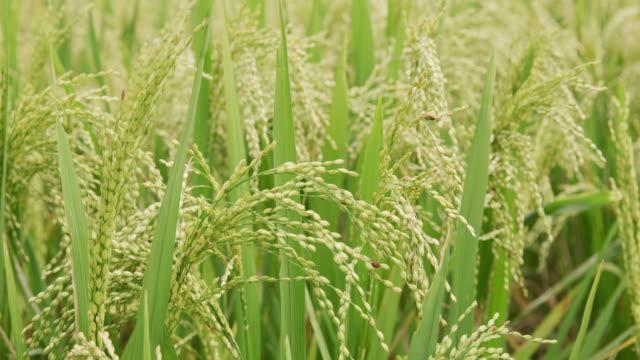 背の高い草に cu 生育 - モミ点の映像素材/bロール