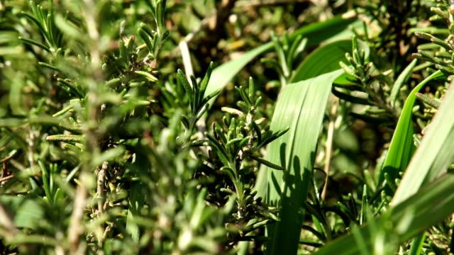 mcu plants growing on farm, kwazulu natal, south africa - ローズマリー点の映像素材/bロール
