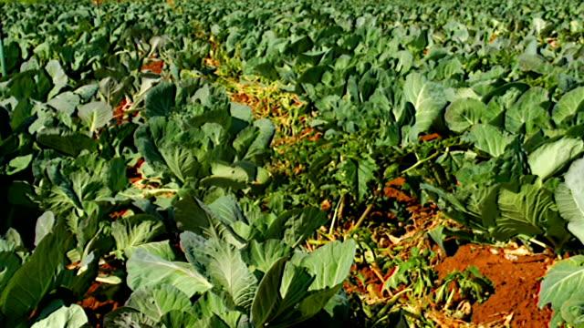 ls plants growing on farm, kwazulu natal, south africa - crucifers 個影片檔及 b 捲影像