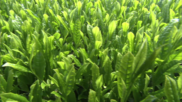 Plants of young tea leaves grow in an expansive field.