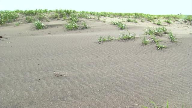 plants sway on a sand dune with wind ripples in ishikari, japan. - satoyama scenery stock videos & royalty-free footage