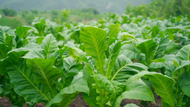 plants - tobacco product stock videos & royalty-free footage