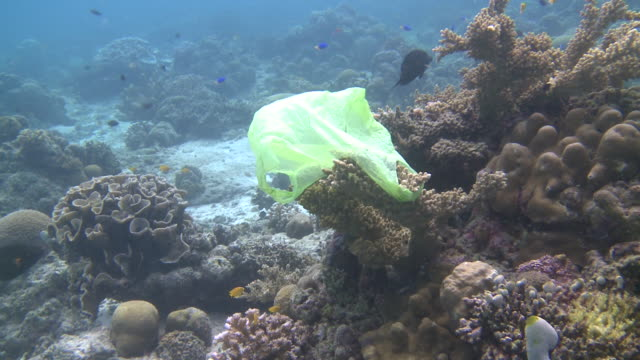 vidéos et rushes de plastic bag caught on coral, southern visayas, philippines - organisme aquatique