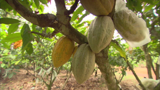 a plastic bag covers a cacao fruit as it  ripens with others  in a grove. - grove stock videos & royalty-free footage
