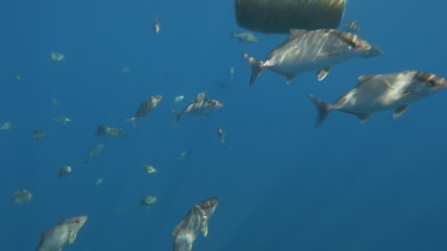 Plastic ton floating in the ocean with fish life, Azores slow motion