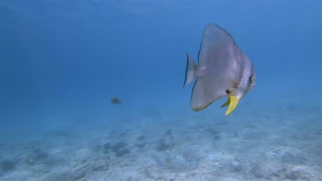 vídeos y material grabado en eventos de stock de platax teira, peces murciélago marrajo carite o spadefish marrajo carite en el océano índico en la isla de praslin, seychelles, país del archipiélago en el océano índico - lecho del mar