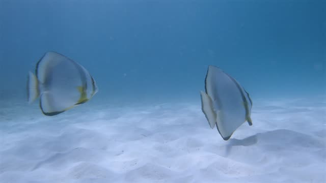 Platax teira , longfin batfish or Longfin Spadefish in Indian Ocean on Praslin island , Seychelles , archipelago country in the Indian Ocean