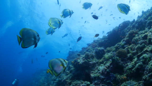 Platax teira (longfin batfish, spadefish) schooling undersea