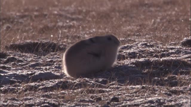 vidéos et rushes de plateau pika feeds on plateau, qinghai province, china - création animale