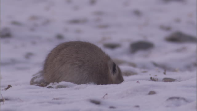 plateau pika forages in snow, qinghai province, china - futter suchen stock-videos und b-roll-filmmaterial