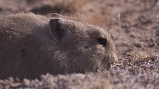 vidéos et rushes de plateau pika on steppe, qinghai province, china - création animale