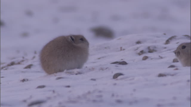 plateau pikas meet in snow, qinghai province, china - futter suchen stock-videos und b-roll-filmmaterial