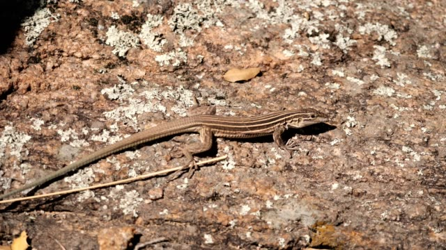 plateau striped whiptail lizard - small stock videos & royalty-free footage