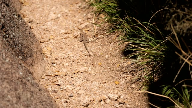 plateau striped whiptail lizard - lizard stock videos & royalty-free footage