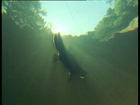 Platypus at water surface, dives underwater, sunburst above, Queensland