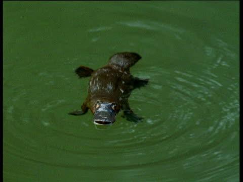 Platypus dives underwater in creek, Eungella National Park, Queensland