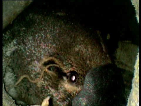 platypus examines camera probe in nest chamber, queensland - animal nest stock videos and b-roll footage