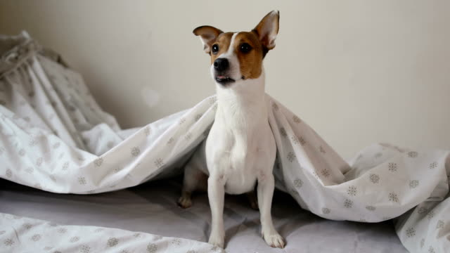 play in the morning with her puppy jack russell terrier dog - jack russell terrier stock videos & royalty-free footage