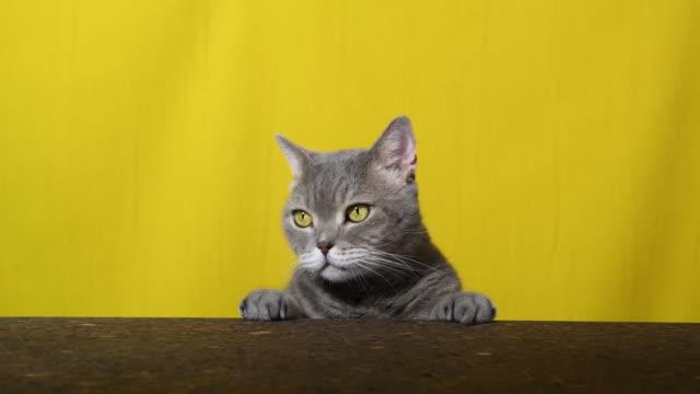 遊びのタイム - ショートヘア種の猫点の映像素材/bロール