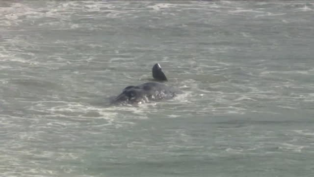 playa del rey, ca, u.s. - aerial view of gray whale spotted near shore of dockweiler beach, that dies hours later, on wednesday, march 17, 2021. - gestrandet stock-videos und b-roll-filmmaterial