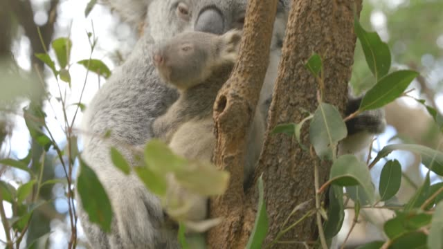 playful baby koala in the arms of its mother on top on eucalyptus tree in eastern australia - young animal stock-videos und b-roll-filmmaterial