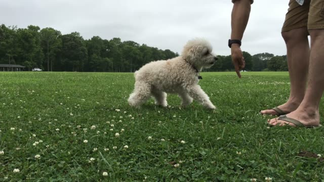 playful bishon frise - bichon frise stock videos and b-roll footage