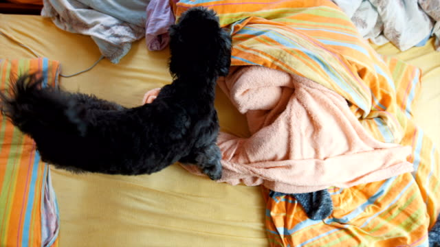 playful black poodle in the bed - pet clothing stock videos & royalty-free footage