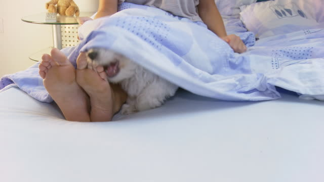 hd: playful dog in bed - duvet stock videos & royalty-free footage