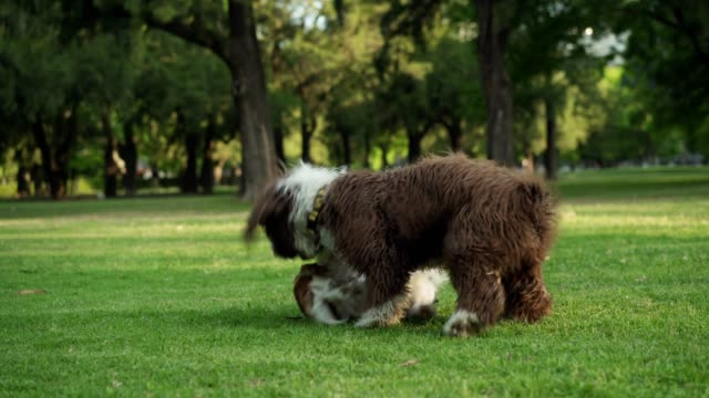 vídeos y material grabado en eventos de stock de perros juguetones en el parque - dos animales