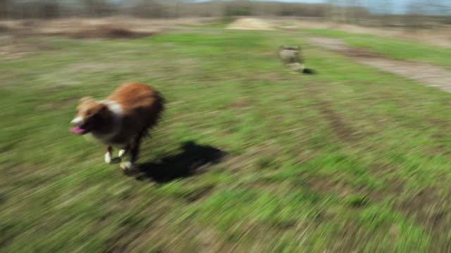 stockvideo's en b-roll-footage met speelse honden - achteloos
