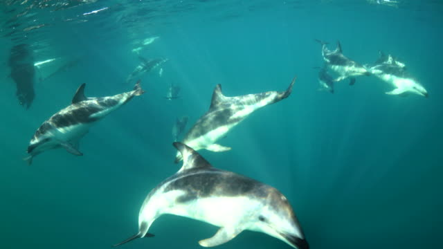 playful dusky dolphins trying to get the attention of the camera operator, nuevo gulf, valdes peninsula, argentina. - dusky dolphin stock videos & royalty-free footage