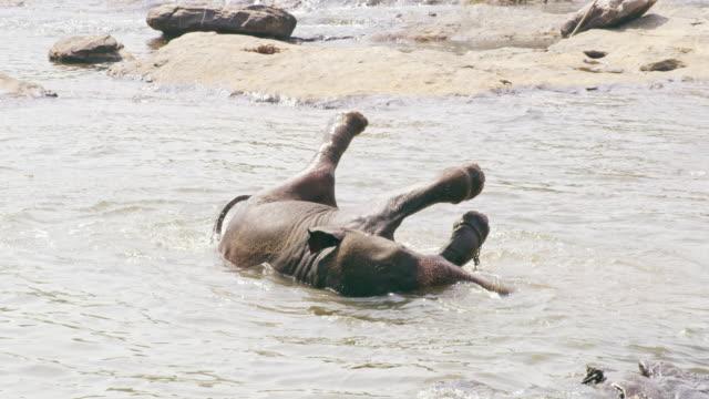 ms playful elephant splashing,bathing in water,sri lanka - elephant stock videos & royalty-free footage