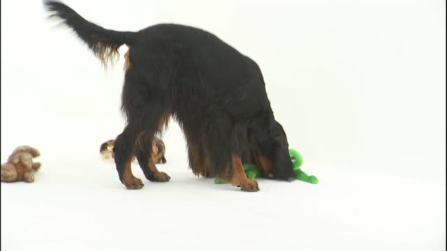 a playful gordon setter dog sniffs a toy. - shaking stock videos & royalty-free footage
