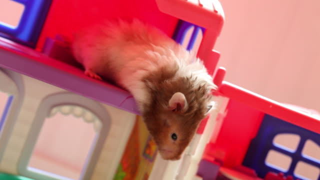 vídeos y material grabado en eventos de stock de juguetón de hámster - hamster